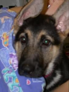 Dixie 10 weeks, german shepherd