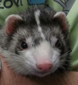 Beuller 5 year old Ferret