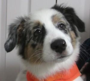 Daisy12 week old Australian Shepherd
