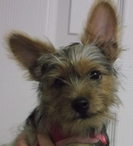 Daisy 16 week old Yorkie