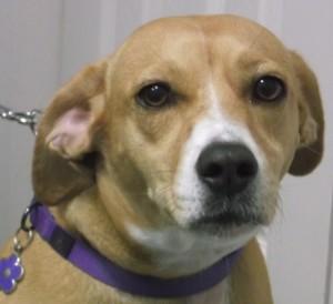 Daisy 3 year old Beagle mix