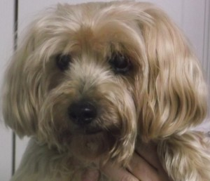 Doc 15 year old Silky terrier
