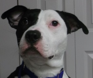 Echo15 month old American Staffordshire Terrier