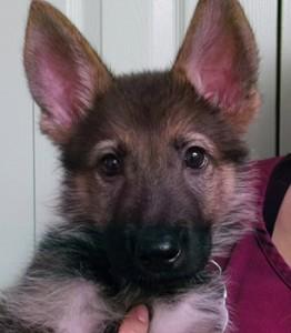 Roque | 9W | German Shepherd
