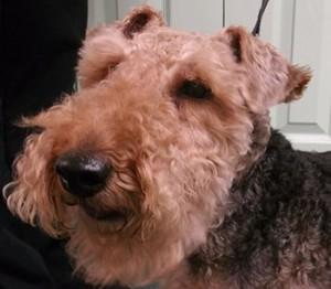 Sammie | 5Y | Welsh Terrier