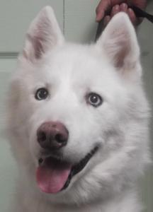 Avalanche | 11y | Siberian Husky