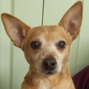 Lenny | 12yr | Chihuahua