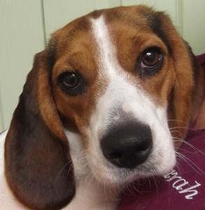 Casey | 17mth | Beagle