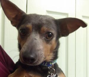 Dexter | 3y | Chihuahua Mix